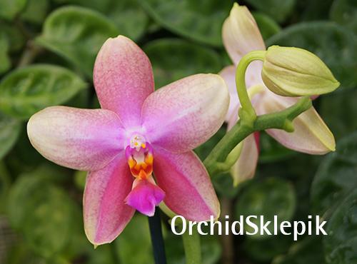 Phalaenopsis Liodoro - storczyk FS - Kwitnie
