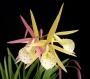 Brassolaelia 'Yellow Bird' - storczyk FS (10Pr)