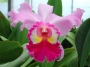 Brassolaeliocattleya Liebling - storczyk FS (10Pr)