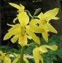 Calanthe sieboldii - storczyk FS