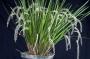 Dendrochilum luzonense - storczyk FS (11L)