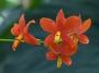 Encyclia vitellina - storczyk FS