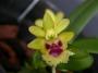 Haraella odorata - storczyk FS (K1)