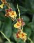 Howeara Chian-Tzy Lovely' - storczyk FS, kwitnie (10Pr)
