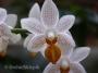 Phalaenopsis Mini Mark, 2 w doniczce - storczyk FS kwitnie
