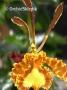 Psychopsis Mariposa G.V. - storczyk FS